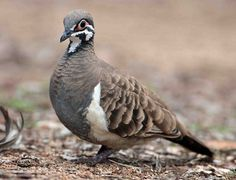 Squatter Pigeon (Geophaps scripta) | Flickr - Photo Sharing!