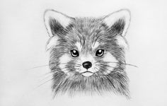 Red Panda Bear Drawing Red Panda Sad Cuteness By
