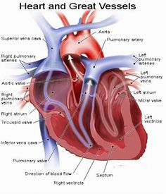 Human Anatomy and Physiology Diagrams: Heart and Great Vessels Diagram Heart Anatomy, Body Anatomy, Heart Rhythm Disorder, Heart Facts, Artificial Heart, Cardiac Nursing, Tricuspid Valve, Heart Rhythms, Human Anatomy And Physiology