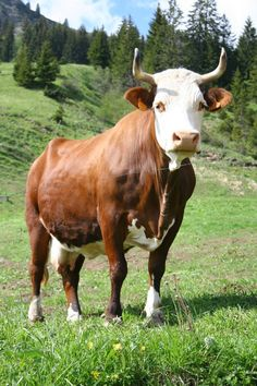 """""""Abondance"""" Alpine cow (Haute-Savoie). His milk is used to make the famous Savoy cheese"""