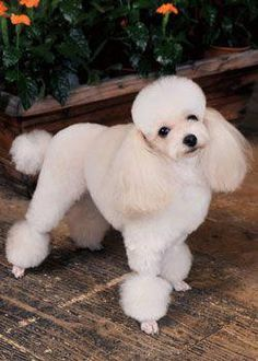 """Visit our website for more information on """"poodles"""". It is actually a superb place to read more. Dog Grooming Salons, Poodle Grooming, Cortes Poodle, Pet Dogs, Dogs And Puppies, Poodle Puppies, Poodle Haircut, Smartest Dogs, Poodle Cuts"""