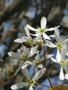 May Bees were visiting the serviceberry flowers. A good early blooming native shub or tree for pollinators. Good fruits for wildlife Best Fruits, Bees, Nativity, Wildlife, Bloom, Flowers, Plants, Christmas Nativity, The Nativity