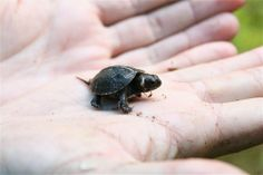 Meet the bog turtle. It is the smallest turtle in North America, and also one of the rarest.An adult bog turtle would fit in the palm of your hand. When fully grown, the bog turtle measures just 4 inches (10 centimeters) and weighs 3.9 ounces (110 grams), on average. This wee reptile has a black- or mahogany-colored shell and bright yellow-orange markings on both sides of the head.Bog turtles can be found from Vermont in the north, south to Georgia, and west to Ohio.