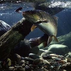 Google Image Result for http://swittersb.files.wordpress.com/2008/08/underwater-brown-trout.jpg