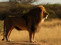 Lion - <i>Panthera leo</i>