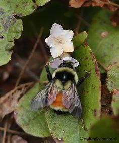 Tri-colored Bumblebee & Trailing Arbutus