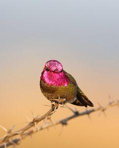 Anna's Hummingbird (Calypte anna) | Flickr - Photo Sharing!