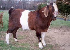 Boer Goat. Raised mostly for their meat.