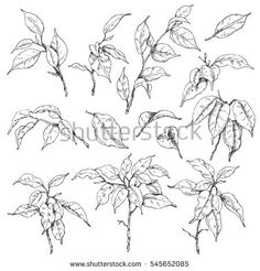 Hand drawn sketch of tropical plants. Doodle ficus branches and leaves set. Black and white floral elements for coloring. Ficus, Tropical Plants, Branches, Hand Drawn, How To Draw Hands, Royalty Free Stock Photos, Coloring, Doodles, Sketch
