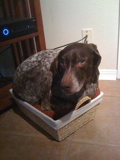 """Sasha, our German Shorthaired Pointer that """"thinks"""" she is a Min Pin :-)"""