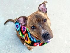 ☆ GONE BUT NEVER FORGOTTEN ☆ TO BE DESTROYED - 03/04/15 Manhattan Center -P My name is MAZERIE. My Animal ID # is A1028653. I am a spayed female br brindle pit bull mix. The shelter thinks I am about 3 YEARS old. I came in the shelter as a OWNER SUR on 02/23/2015 from NY 10457, owner surrender reason stated was PERS PROB. https://www.facebook.com/photo.php?fbid=970150576331155