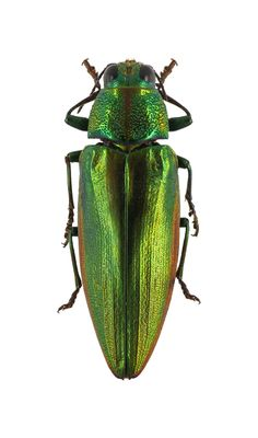 Chrysochroa sublineata. Collection of the Royal Belgian Institute of Natural Sciences