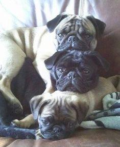 Pugs! Follow @divinewanderer2