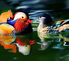 The Mandarin Duck (Aix galericulata), or just Mandarin, is a medium-sized, East Asian perching duck, closely related to the North American Wood Duck.