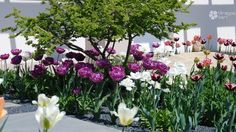 Tulips with Ulmus/tulipánok Ulmus-szal Small Garden Design, Tulips, Home And Garden, Plants, Plant, Tulip, Planets