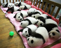 Panda naps...A group of giant panda cubs nap at a nursery at the research base of the Giant Panda Breeding Centre in Chengdu, in southwest China's Sichuan province.