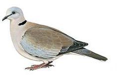Ring-necked Dove (Streptopelia capicola) Green Pigeon, Dove Pigeon, Paper Templates, Illustration Art, Illustrations, Vintage Birds, Bird Prints, Embroidery, Illustration