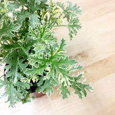 虫除け効果があるというゼラニウム。この「センテッドゼラニウム」の香りには「シトロネラ」という蚊が嫌う成分が入っているそう。センテッドゼラニウムの植え替えと簡単な育て方・挿し木についてご紹介します。 Home Landscaping, Essential Oils, Spices, Herbs, Landscape, Flowers, Gardening, Cook, Ideas