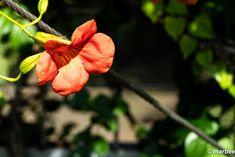 写真 ノウゼンカズラ 202001 台風が過ぎれば秋 My Works, Plants, Flora, Plant