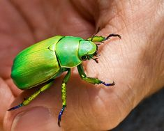 Shining Leaf Chafer Beetles Are Cute Lil Gem-like Creatures