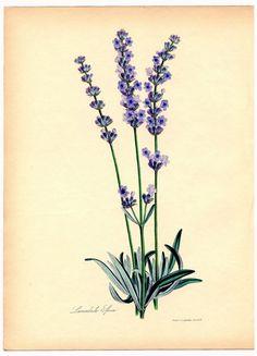Lavender vintage botanical printable