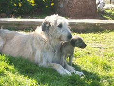 Irish Wolfhound mom with pup - Dog Breeds Big Dogs, Cute Dogs, Dogs And Puppies, Awesome Dogs, Corgi Puppies, Irish Wolfhound Puppies, Irish Wolfhounds, Scottish Deerhound, Dog Games