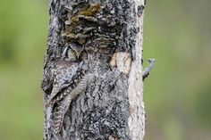 A Northern hawk owl is perfectly camouflaged while it sits in its nest hole. Pinned by www.myowlbarn.com