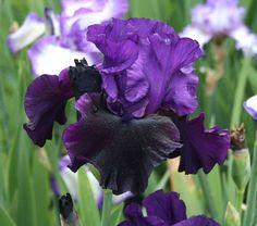TB Iris germanica 'Midnight Treat' (Schreiner, 2006)