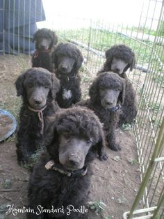 standard poodle puppies look at those sweet little faces.