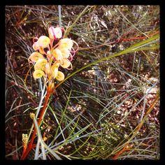 Grevillea est une fleure australienne que l'on appelle parfois la fleur araignée #australie #fleur #plante #maranoa #maranoagardens #jardinbotanique #jardin #fleuraraignée