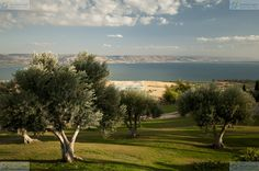 Olive grove overlooking the Sea of Galilee, Israel