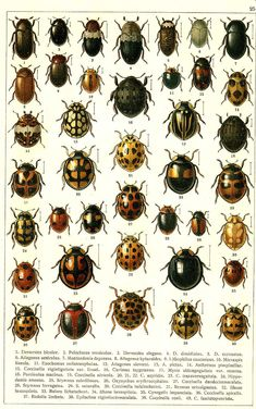 """G.G. Yakobson (1905-1915) - """"Beetles of Russia"""": table 25"""