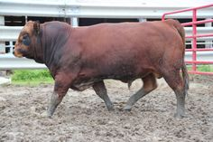 Image result for Tarentaise Cattle