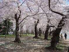 cherry blossom pic washington dc | Washington DC 2004