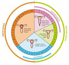 29 best the cycle images on pinterest health menstrual cycle and