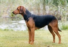 The Swedish Schillerstövare - derives from continental hounds, of the East European type, that came to Sweden   with returning soldiers during the 1500 and1600 century. The Schillerstövare evolved in the West Gotha part of Sweden during the turn of the 20th century.   A young farmer, Per Schiller, (1858-92) manage in   only a few years to establish a strain of hounds particular well known for their ability to go after fox. The   hounds where named after their breeder and in 1907.