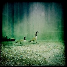 Geese at market