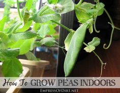 How To Grow Peas Indoors - delicious, year round kitchen garden in your house!
