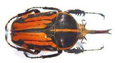 Chelorrhina kraatzi. Moser.a dessins confluents