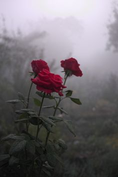 roses in the fog | Kaensu | Flickr