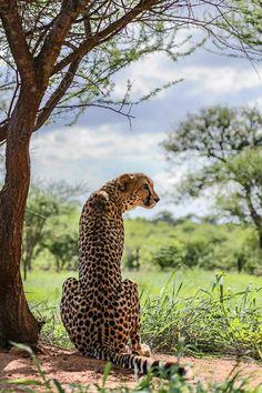 Cheetah, Panther, Africa, Creatures, Cats, Animals, Beautiful, Gatos, Animales