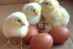 eggs_with_baby_chickens.jpg (1027×683)