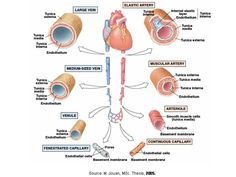 The Cardiovascular System   ~ Anatomy