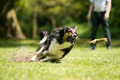 Animal dier animals dieren dog hond dogs honden running rennen huisdier pet pets spelen playing play