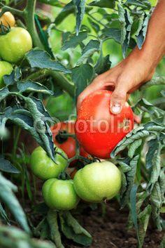 Am Tomaten Pflücken Agriculture, Vegetables, Photos, Tomatoes, Photo Illustration, Vegetable Recipes, Veggie Food, Veggies