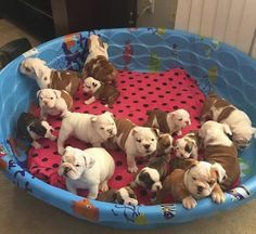 The major breeds of bulldogs are English bulldog, American bulldog, and French bulldog. The bulldog has a broad shoulder which matches with the head. Cute Bulldog Puppies, Cute Bulldogs, English Bulldog Puppies, Cute Dogs And Puppies, Baby Dogs, Doggies, Baby Bulldogs, Mini English Bulldogs, Cute Little Animals