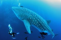 Galapogos Islands - diving with whale sharks