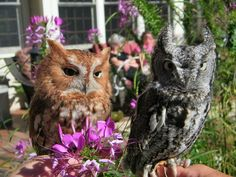 Eastern Screetch Owls .  these two are used for education purposes.  Taken by Judy Brizido