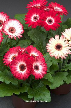 Gerbera daisy flowers are favorite for many people as they are available in bright pretty colorful flowers. These colorful flowering plants make the garden look fabulous. Flowers Perennials, Planting Flowers, Gerbera Plant, Gerbera Daisy, Porch Flowers, Beautiful Flowers, Flower Planters, Flowers, Flower Seeds