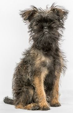 24 best affenpinscher dogs mixes images dog mixes australian